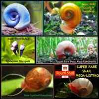 SUPER RARE Blue Pink Gold Ramshorn Black Malaysian Tropical Aquarium Live Snails