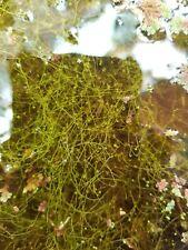 Utricularia gibba Carnivorous Plant Species