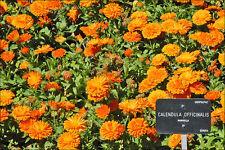 CALENDULA Pot marigold medicinal anti viral 50 seeds herb garden Maayan Orange