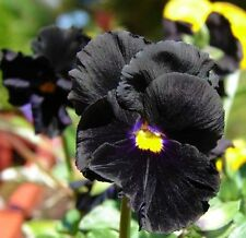 Flower seed - Viola Pansy Clear Chrystals Black