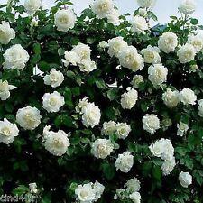 10 graines de Rosier Grimpant Blanc - 10x Climbing White Rose rosebush seeds