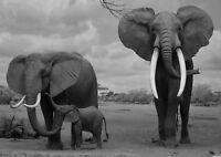 Elephant Wildlife Landscape Poster Art Print Black /& White Card or Canvas