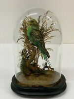 TAXIDERMY BIRD  BUDGERIGAR Victorian Glass Dome  Budgie antique