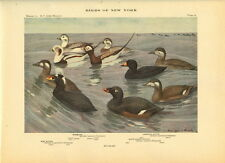 Rare 1916 Antique Bird Print ~ Oldsquaw & Scoter Duck  ~ Excellent Details