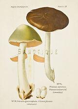 "Dufour's Atlas of Mushrooms - ""VOLVARIA GLOIOCEPHALA"" - Chromolithograph - 1891"
