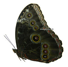 Unmounted Butterfly/Morphidae - Morpho helenor montezuma, male, Mexico, A-