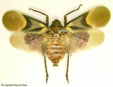 Scamandra tamborana - female  (spread), very beautiful