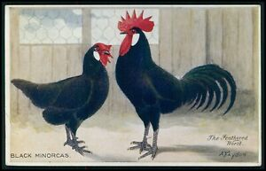 Black Minorcas Couple Bird Chicken POULTRY Breed original old 1910s postcard