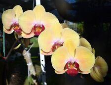 "Orchids Phalaenopsis Golden Beauty FloweredSz in 5""Pot Mature Plant a Classic!"
