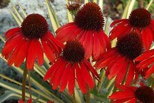 RED Cone flower( Echinacaea 'hot summer') ( 50+ fresh seeds ) sun perennial