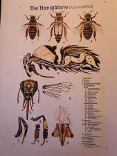 "Lehrtafel,Biene,""Die Honigbiene"" ,Imker,Imkerei,bee,Bienen"