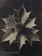 1942 Original BOTANICAL PLANT Flower Vintage Germany Photo Art ~ KARL BLOSSFELDT