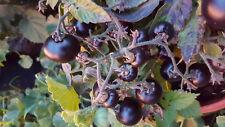Blaue Zimmer - TOMATE TOPF, kleineste Tomatenpflanze, reift früh, Zwerg,Wichtel