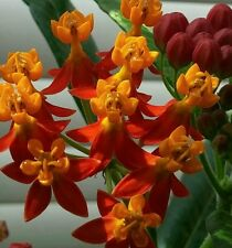Asclepias curassavica, Tropical Milkweed. 100+ Seeds