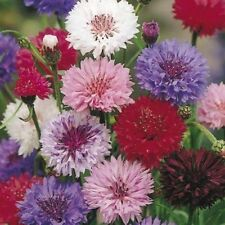 CORNFLOWER  - Polka Dot Mix 200 Seeds Centaurea cyanus HEIRLOOM Cut Flower
