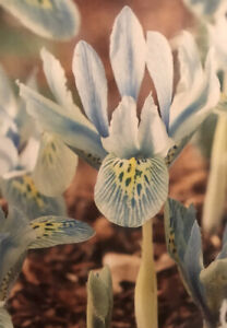 10 X Iris Dwarf Injad Sherwood Garden Cottage Spring Flowering Bulbs