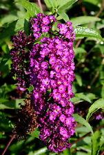 Schmetterlingsstrauch Sommerflieder Buddleja davidii 'Nanho Purple'  60 - 80 cm