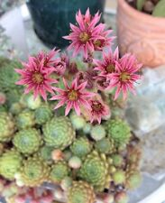8 SEMPERVIVUM PLANTS Rosettes Hens and Chicks Succulents Plump Healthy