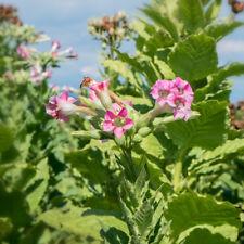 Den eigenen Tabak im Garten anpflanzen und Ernten-VERGINIA-TABAK