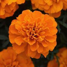 300 Orange Marigold French Seeds organic Easy to Grow +gift