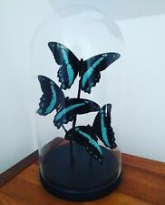 Blue Butterflies in Glass Dome Butterfly Display Gifts Handmade