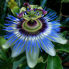 10pcs Passion Fruit Seeds Tropical Exotic Purple Passiflora Edulis Germination