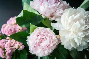 Pfingstrosen - Paeonia - Päonien - duftend - winterhart - Beetpflanze