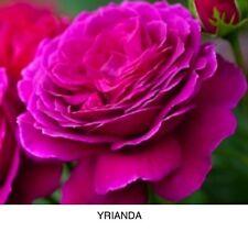 """Specie di CAMPANULA /""""Medium Deep Rose /'x300 freschi 2020 semi-perenne rustica"""