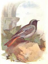 BIRDS. Black Redstart  1901 old antique vintage print picture