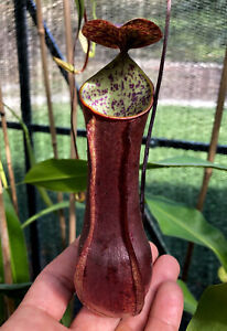 Nepenthes gracilis Giant Black, Female, Small Rooted Cutting