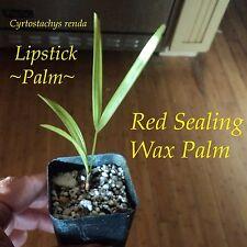 ~LIPSTICK PALM~ Cyrtostachys renda Red Sealing Wax Palm Tree SMALL Plant 3-6+ in