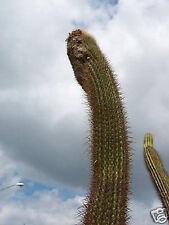 Coleocephalocereus goebelianus @J@ cactus seed 10 Seeds