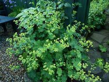 50+ Ladies Mantle / Achemilla Mollis / Perennial Flower Seeds