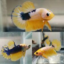TWO Yellow White Blue Fancy Betta Fish Male Plakat Halfmoon Mystery Pack