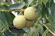 Three types of Walnuts, Black, English and Japanese walnuts.  3, 3, and 1