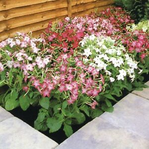 Nicotiana - Roulette Mixed F2, Tobacco Plant - Kings Seeds - 300 Seeds