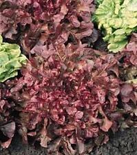 Lettuce Leaf Salad Bowl Red Vegetable Seeds