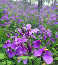Orychophragmus ViolaceusFebruary Orchid 100 Seeds