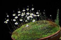 Utricularia Bisquamata * South African Bladderwort * Carnivorous * 10 Seeds *