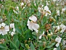Goodenia albiflora in 75mm supergro tube native plant groundcover