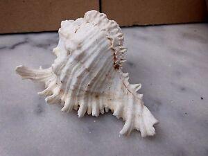 MUREX Muschel, ca. 11x8 cm, Deko Aquarium 1645