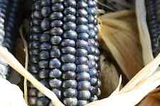 VEGETABLE FLINT CORN  BLUE HOPI  30 SEEDS