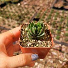 """Crassula Buddha Temple Rare Succulent Plant Shown in 2"""" Pot"""