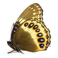 Unmounted Butterfly/Nymphalidae - Hypolimnas pandarus pandarus, F, Indonesia