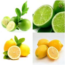 Evergreen Lemon Seed Heirloom Garden Tree Fruit Indoor Outdoor Rare Organic Seed