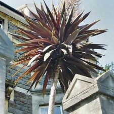PURPLE CABBAGE TREE SEEDS CORDYLINE AUSTRALIS PURPUREA FRAGRANT FLOWERING