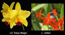 Cattleya/Laelia Tokyo Magic x milleri orchid plant - Bin