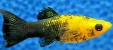 New listing 5+ Gold Panda Molly live Tropical Fish Juveniles, about 2- 3 months old. Unsexed