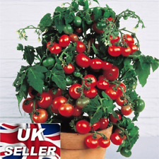 20 Seeds Sweet Tomatoes Fresh Organic Cherry Mini Fruit Easy to Plant Vegetabe