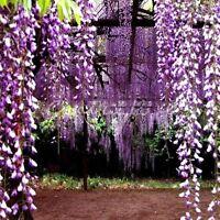 FD4203 Heirloom Purple Wisteria Tree Seeds Sinensis Chinese Wisteri Mauve 10PCs